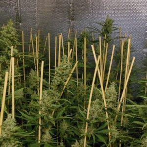andinotech-marihuana-lemon-bubble-pheno-finder
