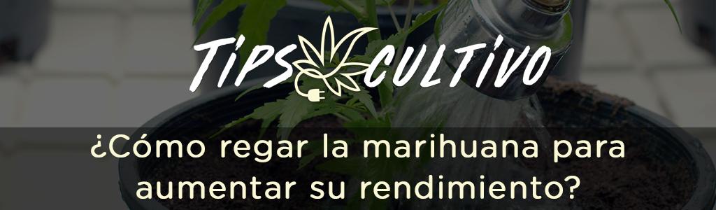 ¿Cómo regar la marihuana para aumentar su rendimiento?