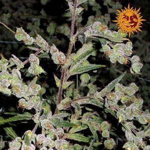 andinotech-marihuana-dr-grinspoon