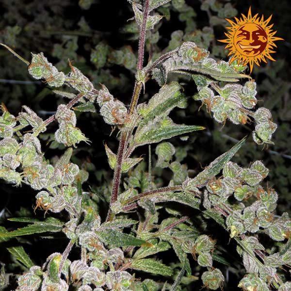 andinotech-marihuana-dr-grinspoon