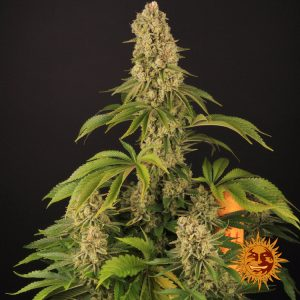 andinotech-marihuana-tropicanna-banana